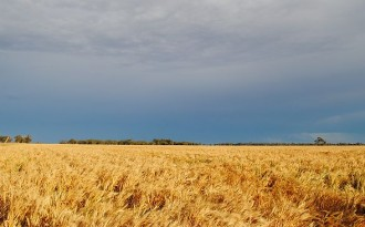 grain crop under leaden sky. photo by Peter Hemphill - HWT Image Library
